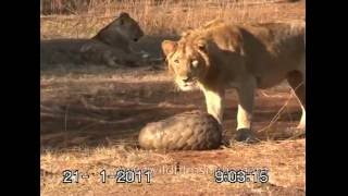 Download Fighting off a Lion by curling up in ones' Pangolin scales! Video