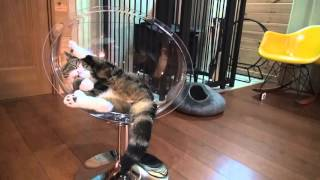 Download 透明な猫ベッドとねこ。-Clear cat bed and Maru.- Video