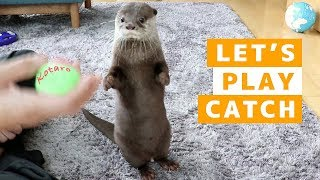 Download カワウソ コタロー キャッチボールは得意! Kotaro the Otter Catches Ball with Paws Video