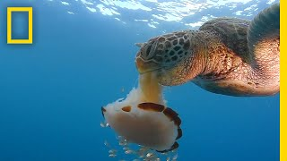 Download See a Sea Turtle Devour a Jellyfish Like Spaghetti | National Geographic Video