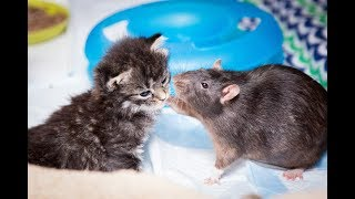 Download Brooklyn Cat Cafe Employs Rats To Care For Kittens | CUTE AS FLUFF Video