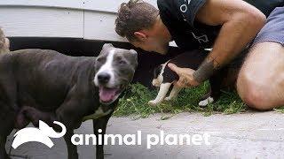 Download ¡Mamá desnutrida encuentra a sus cachorros! | Pit bulls y convictos | Animal Planet Video