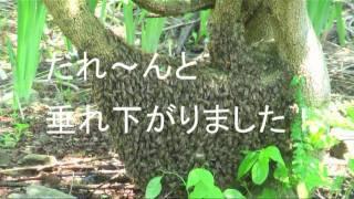 Download 木の根元についた蜂球 掃除機で吸い取る。 Video