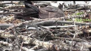 Download Egg #1 Laid By Iris on Hellgate Osprey Cam! — April 26, 2017 Video