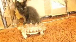 Download Kitten Riding a Tortoise 2.0 Video
