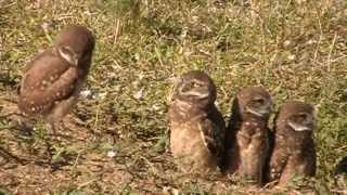 Download Burrowing Owl Family with 5 Owlets Video