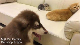 Download Nhà Mật đón thành viên mới, Mật doạ em mèo Munchkin sợ chết khiếp luôn ::) Video