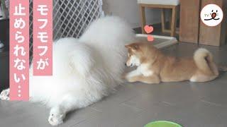Download どうしてそんなにモフモフなの? フワフワな毛に夢中な柴犬と優しいサモエド😍【PECO TV】 Video