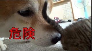 Download [子猫] [保護猫] 柴犬に子猫がいじめられました [柴犬][可愛い][癒し] Video