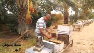 Download تربية النحل بالجنوب التونسي ( توزر - تونس ) Video
