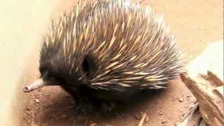 Download Short-Beaked Echidna (Spiny Ant-Eater) Video