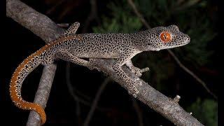Download Spider Gecko Video