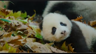 Download Disneynature's Born in China Official US Trailer Video