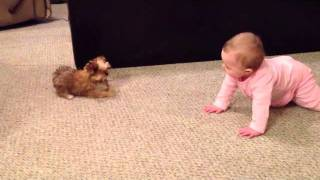 Download BABY DOG WHISPERER! Cesar Millan has nothing on her!! Shorkie Puppy Talks to Baby Video