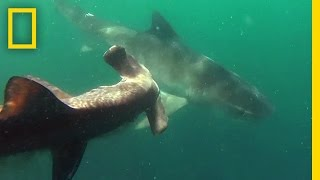 Download Tiger Shark vs. Hammerhead Shark | National Geographic Video