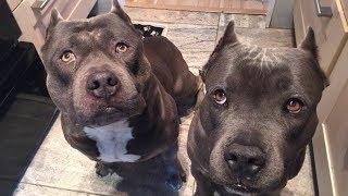 Download The GOAT: Smartest Dog Alive, Czr #teamCZR Video