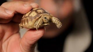 Download 3 Care Tips for Sulcata Tortoises | Pet Reptiles Video