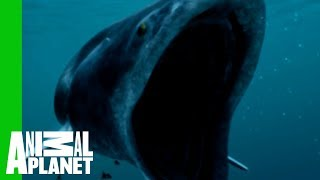 Download The Whale Shark Is a Small Fry Compared to Biggest Fish Ever Video