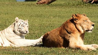 Download White Tiger And Lion In 360!! Video