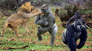 Download King Lions attack Gorillas, Herd Gorilla panic carry Baby on his back run away Video