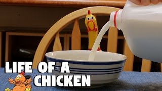 Download Casual Life of a Squeaky Chicken Video
