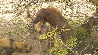 Download Jackal arrives, 10 Wild Dogs corner 1 Hyena Video