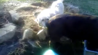 Download Dog meets pig for first time then falls in love part one Video
