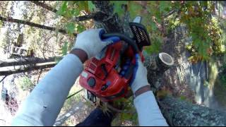 Download Large Red OaK Free Fell Rope-less Tree Removal - Part 1 Video
