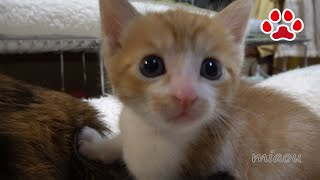 Download 子猫まや、9回目の猫部屋訪問。みみ!空気よんで!!【瀬戸のまや日記】Cute kitten Maya's 9th visit to the cats room. Video