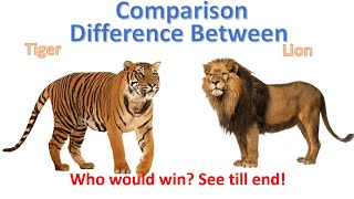 Download Difference between Lion and Tiger | Tiger vs Lion Comparison Video