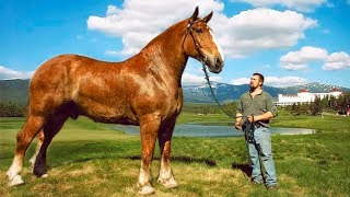 Download THE BIGGEST HORSES In The World Video