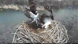 Download Osprey Nest Attack Video