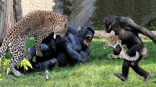 Download Big batter Gorilla vs Leopard fighting, Both tired when the war has no end Video