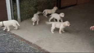 Download Yellow Lab Puppies For Sale Video
