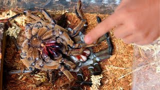 Download WORLDS LARGEST TARANTULA MOLTING!! RARE AND CREEPY!! | BRIAN BARCZYK Video