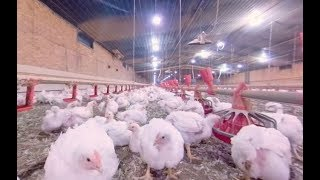 Download Take a 360° Virtual Reality Tour of a Chicken Farm Video