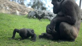Download La bebé gorila VIRUNGA cumple 6 meses en BIOPARC Valencia Video
