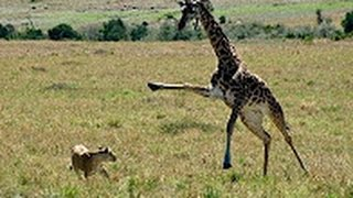 Download Giraffe kills lion Giraffe attacks lion pride and kicks one of them to death Video