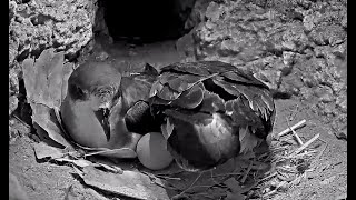 Download Female Cahow Returns and Lays Egg! #CahowCam | Nonsuch Expeditions | Cornell Lab Video