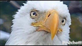 Download SWFL Eagles ~ Our Lovely Harriet 💖 Closeups, Big Sticks, Bonding & Togetherness! 1.27.20 Video