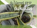 Download ต้นไม้ควรรู้ ep17 ต้นลิ้นมังกร | ไม้ประดับ ไม้มงคล เครื่องฟอกอากาศธรรมชาติ Video