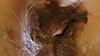 Download House Sparrows (GoPro Bird Nest) 02-19-17 Video