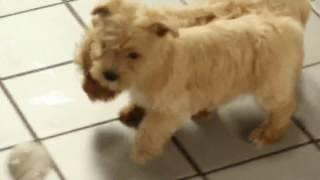 Download Westie Poo Puppies For Sale Video