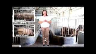 Download Choosing the Right Breed Type -Sukatan sa Pagpili ng Baboy- B-MEG Premium Hog Raising Video