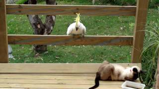 Download Cockatoo attacks cat Video