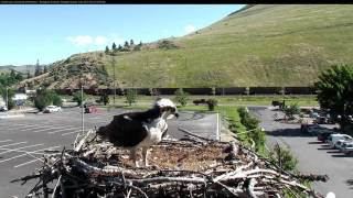 Download Louis Removes Nestling from Nest, June 23, 2017 Video