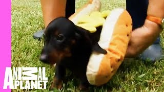 Download Tina The Dachshund Plays With Her Pups In Adorable Hot Dog Outfits | Too Cute! Video