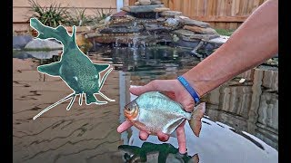 Download New PIRANHA Fish Species Added to The POND! (Underwater Fish Feeding) Video