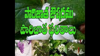 Download Ouishada uses of Parijatham Tree and flowers.Importance of Parijatham Flowers In Pooja Rituals. Video
