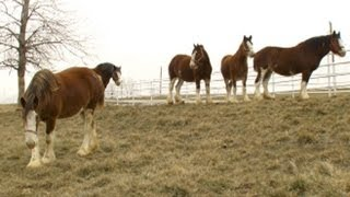 Download Super Bowl's Baby Clydesdale: A Budweiser Story | Nightline | ABC News Video